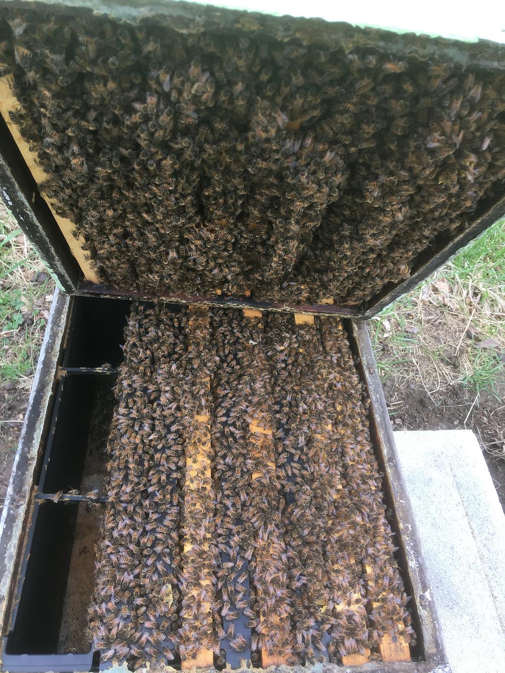Overwintered Ohio honey bee colony. Dunham Bees.