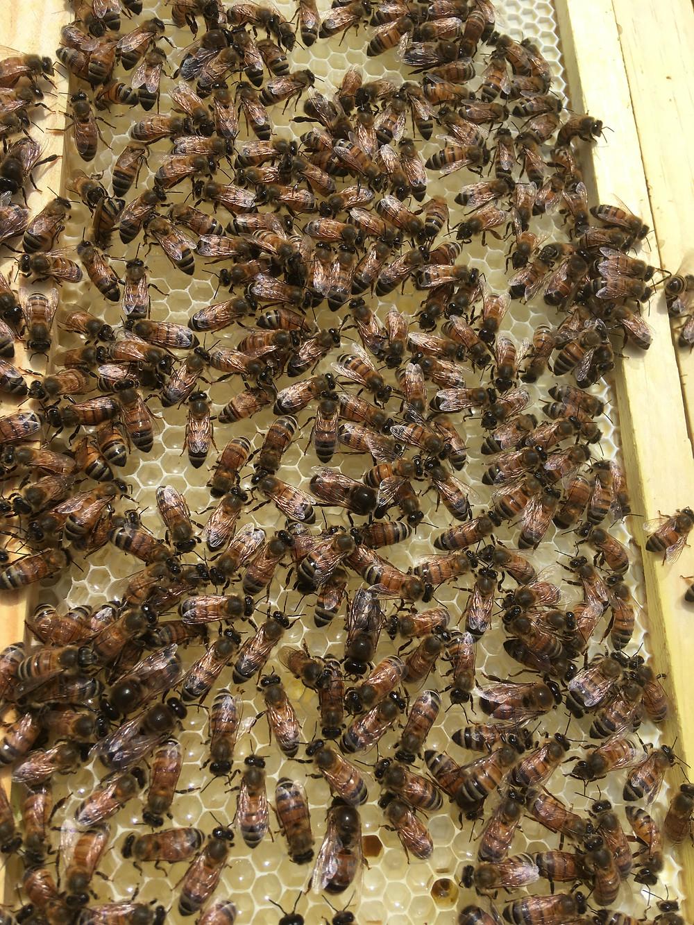 Honey. Frame. Dunham Bees. Farm. London, Ohio.