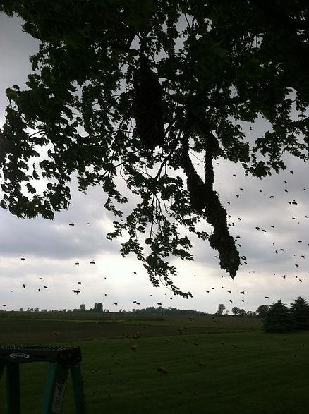 Swarm of honey bees in London, Ohio.
