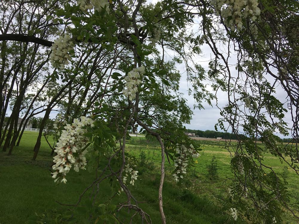 Black locust in bloom. Honey producing plant. Dunham Bees. London, Ohio.