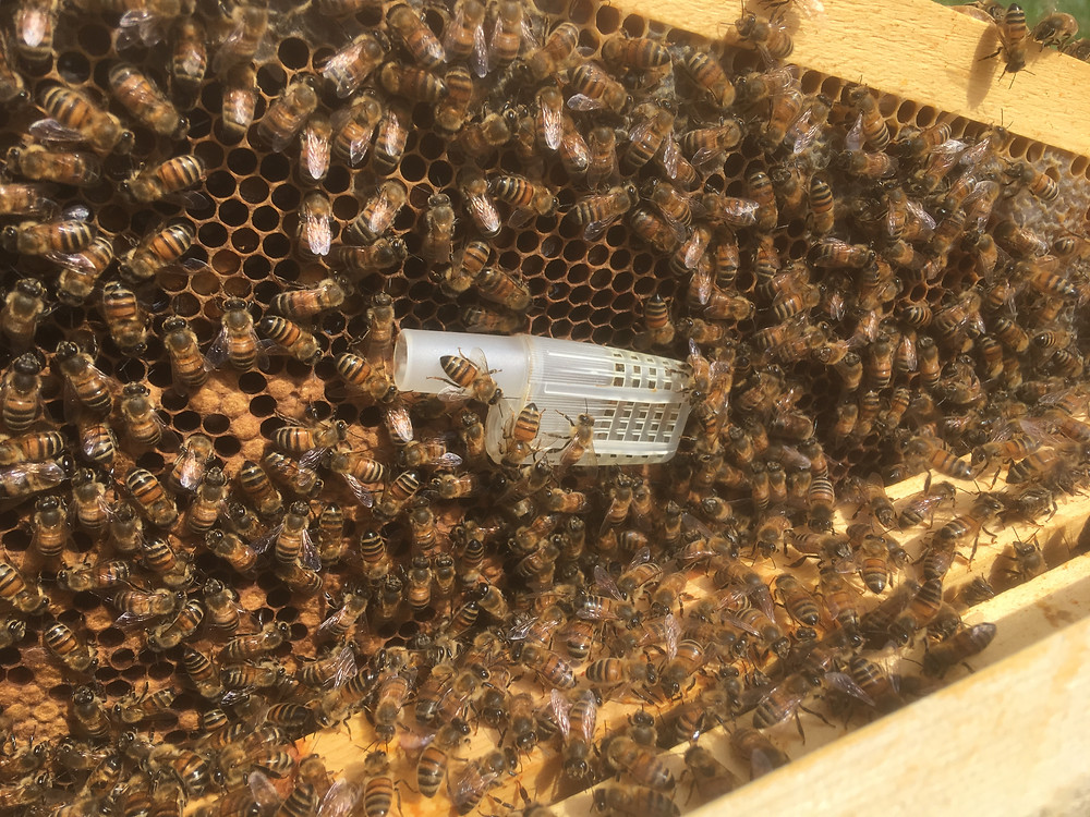 Queen cage. JZs BZs plastic cage. Dunham bees.