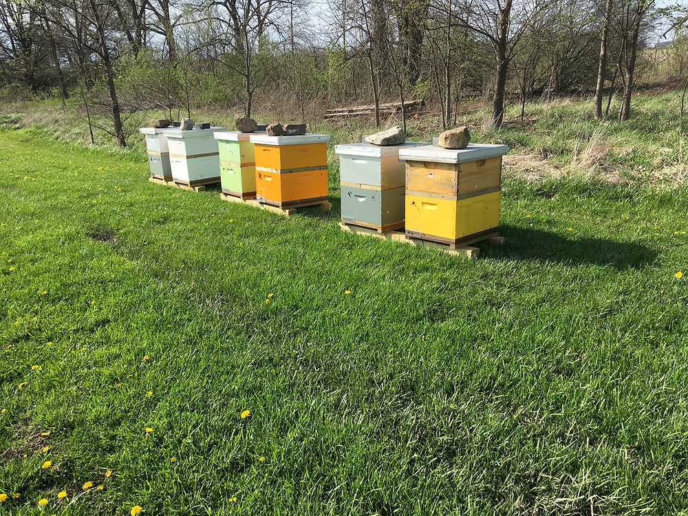 Honey bee nucs in divided double nucleus colonies. Dunham Bees.