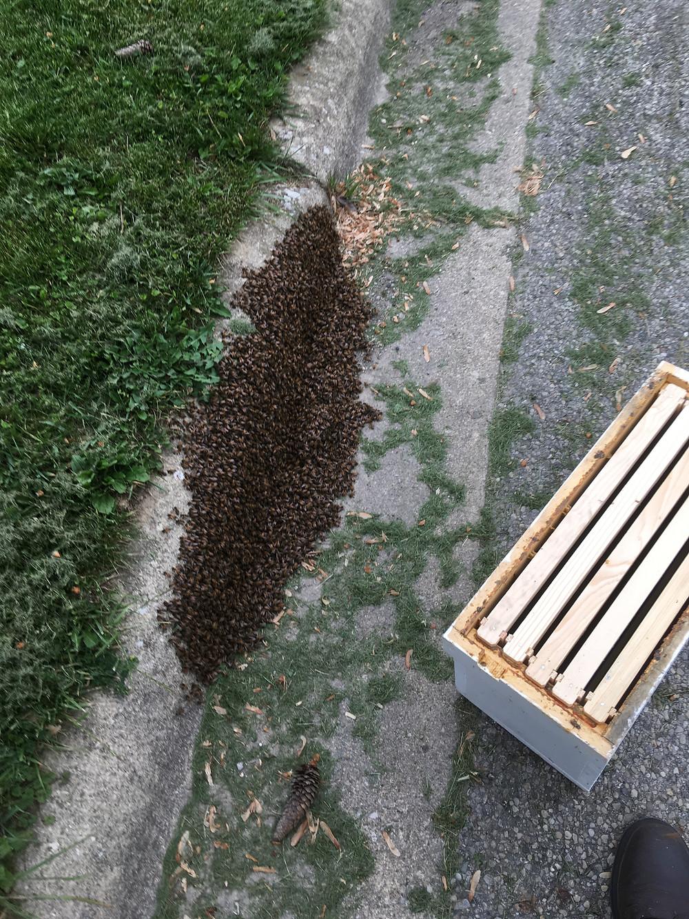 Honey bee swarm. Curb. London, Ohio. Dunham Bees.