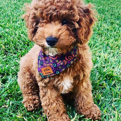 1795769958dog bandana, dog collar, dog accessories, luxury, melbourne, dog, pet1356555.jpg