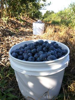 Bucket Blueberries.jpg