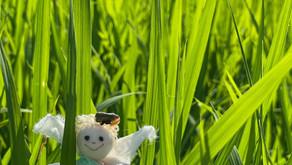 田んぼの苗が育ちました。雑草踏みをしてきました。