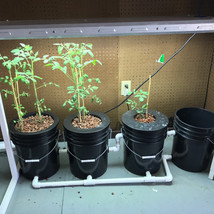 Bucket Tomatoes.jpg