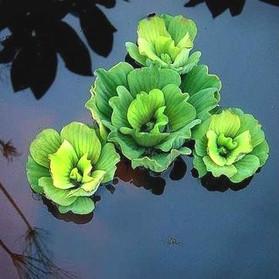 Water_Lettuce.jpg