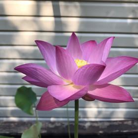 Lotus Bloom 2.jpg