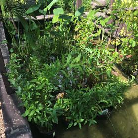 Swamp Willow.jpg