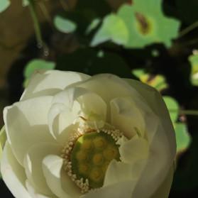 White Lotus 2.jpg