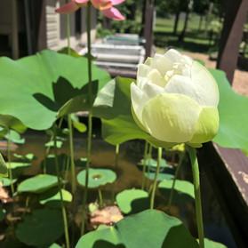 White Lotus 3.jpg