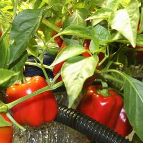 pic-indoor-hydroponics-peppers.jpg