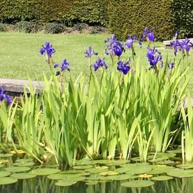 garden-pond-water-iris.jpg