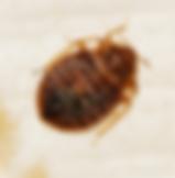 ג'וקי טבע הדברות - חרקי מיטה