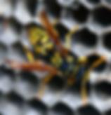 ג'וקי טבע הדברות - דבורה