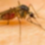 הדברת יתושים | ג'וקי טבע הדברות
