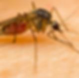 ג'וקי טבע הדברות - יתושים