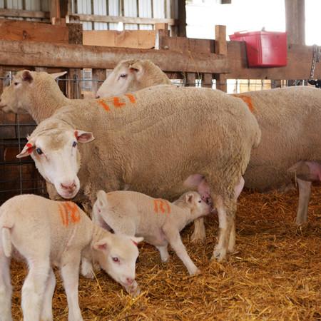 Ile de France Ewe with Lambs.JPG
