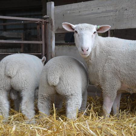 Ile de France Ewe & Lambs.JPG