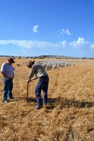Australia Dorper Sheep