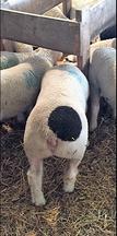 SPOT the Lamb