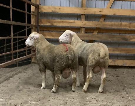 OSU Ram Lambs