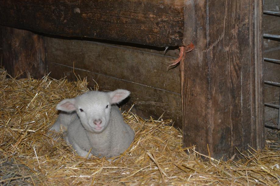 Lambing 2014 Ile de France
