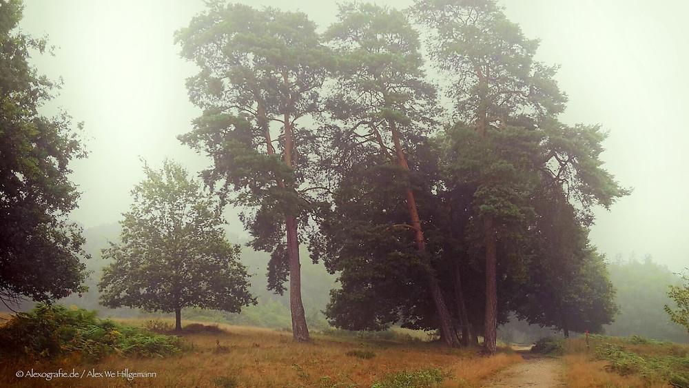 Bäume im Morgennebel der Wahner Heide bei Troisdorf