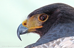Falken-Blick