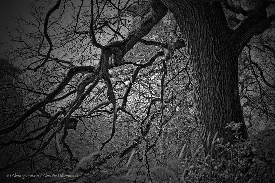 Baum in der Wahner Heide