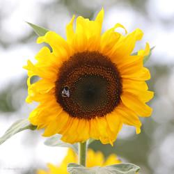 Gastfreundliche Sonnenblume :-)