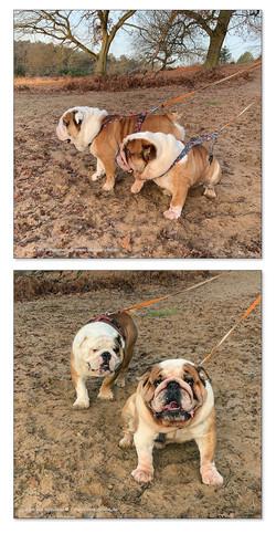 Fidolin & Olaf (Englische Bulldoggen)