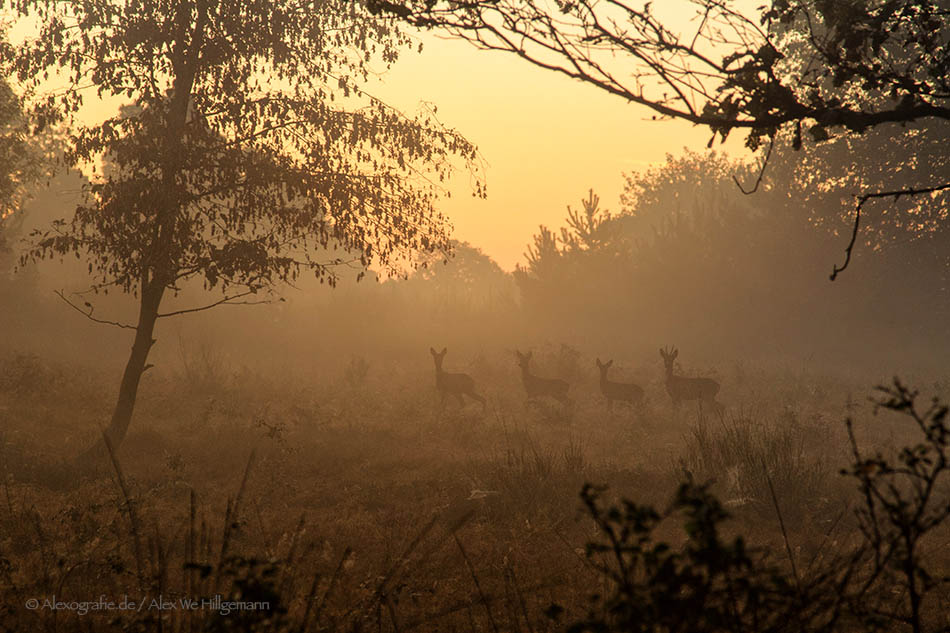 Rehe im Morgennebel