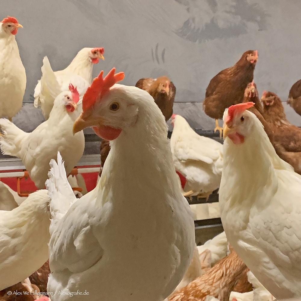 Glückliche Hühner auf dem Bauernhof Ritzen