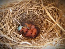 bluebirds hatching
