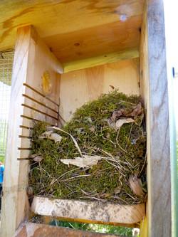 Carolina Wren nest on bluebird trail