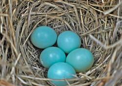 bluebird eggs in nest.jpg