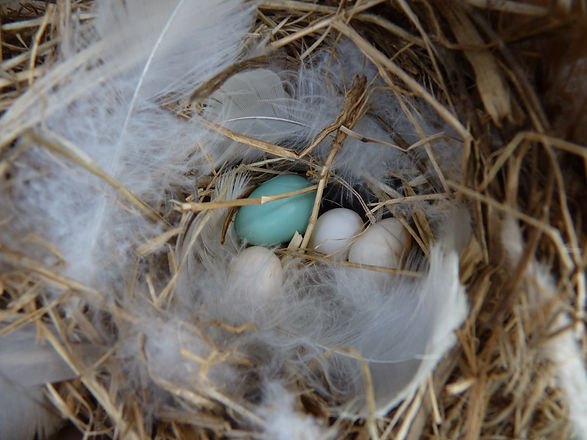 Bluebird egg in Tree Swallow nest.jpg