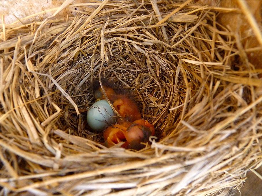 bluebird egg cracking.jpg