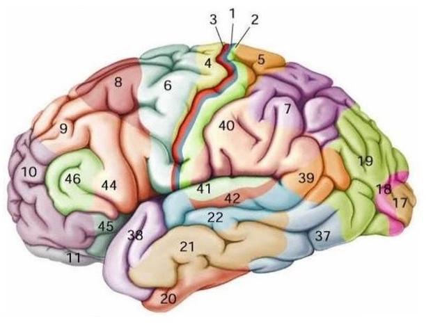 Áreas del cerebro. el cortex visual primario es sensible a las buenas gráficas y las buenas presentaciones.