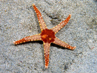 Starfish: Cut off one leg, another regrows.