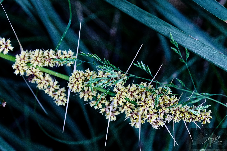 Thorny plant, Sawtell NSW