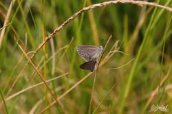 Butterflies, Sydney NSW
