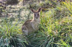 Kangaroo, Moonee Beach reserve
