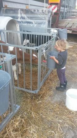 Beim Kälber füttern