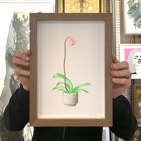 MR BINGO 'COCK PLANT' with Natural Wood FRAME