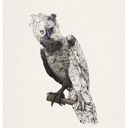 Fragmented Histories: Harpy Eagle