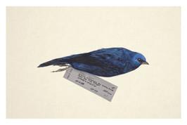 Avian Vestiges: Blue & Black Tanager (Tangara vassorii)