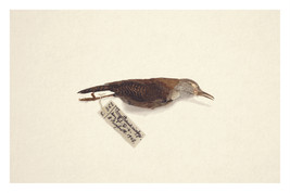 Avian Vestiges: Niceforo's Wren (Thryophilus nicefori)